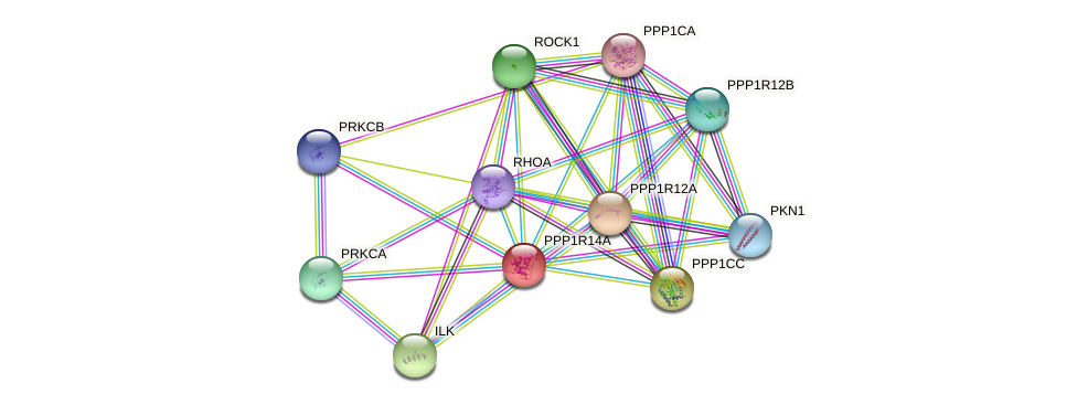 PPP1R14A protein (human) - STRING interaction network