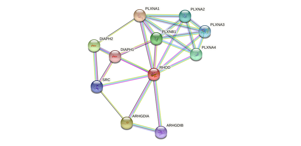 RHOD protein (human) - STRING interaction network