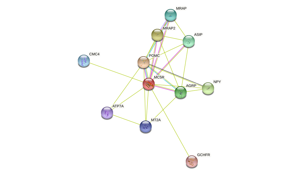 MC5R protein (human) - STRING interaction network
