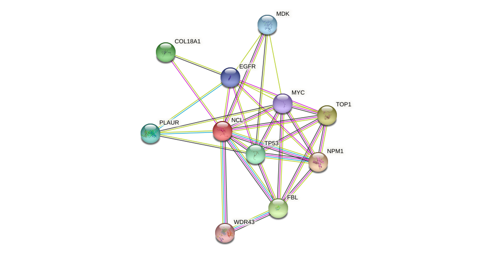 NCL protein (human) - STRING interaction network
