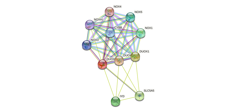 DUOXA2 protein (human) - STRING interaction network
