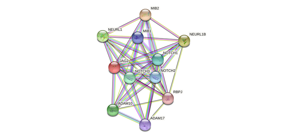 JAG2 protein (human) - STRING interaction network