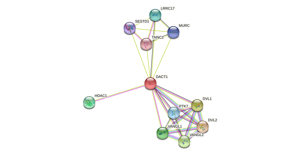 DACT1 protein (human) - STRING interaction network
