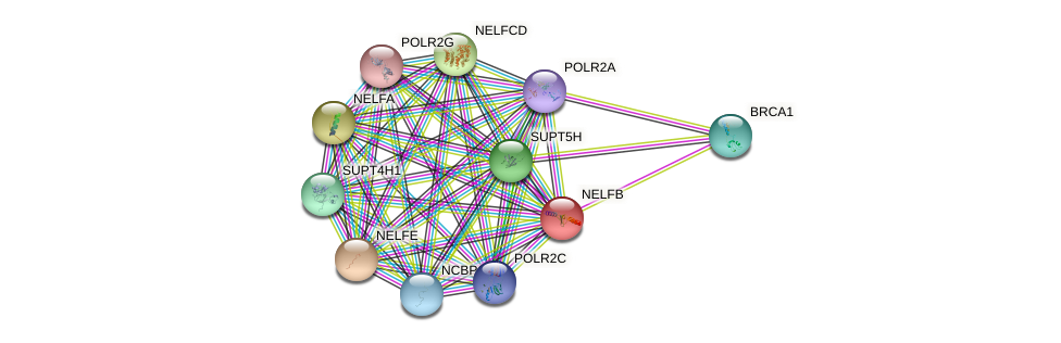 NELFB protein (human) - STRING interaction network