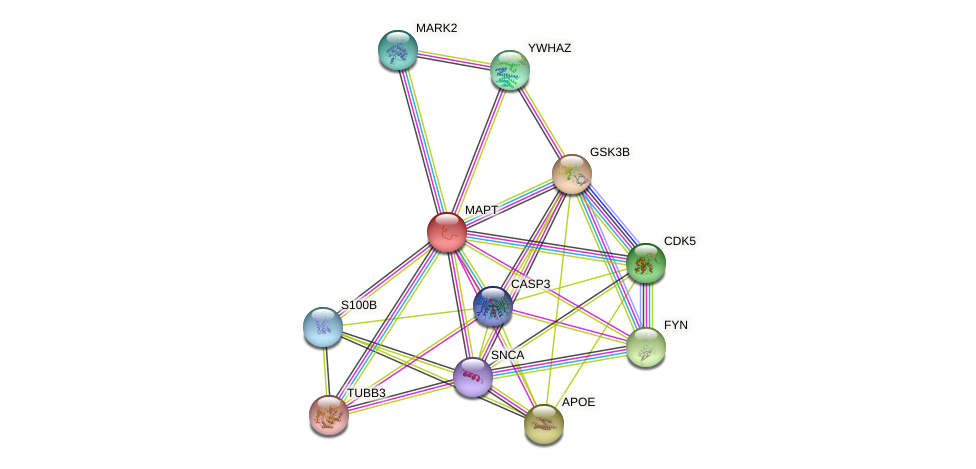 MAPT protein (human) - STRING interaction network