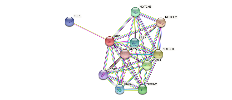 RBPJ protein (human) - STRING interaction network