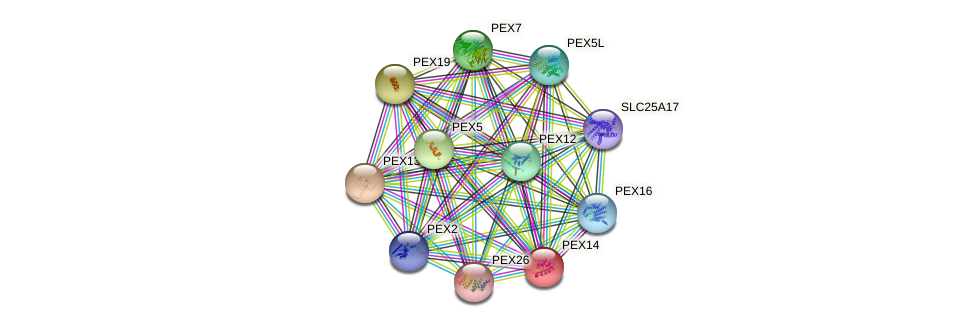 PEX14 protein (human) - STRING interaction network