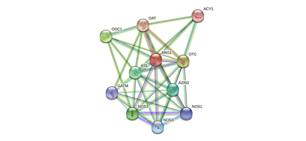 ARG1 protein (human) - STRING interaction network