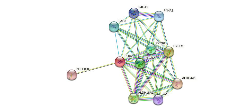 POX2 protein (human) - STRING interaction network