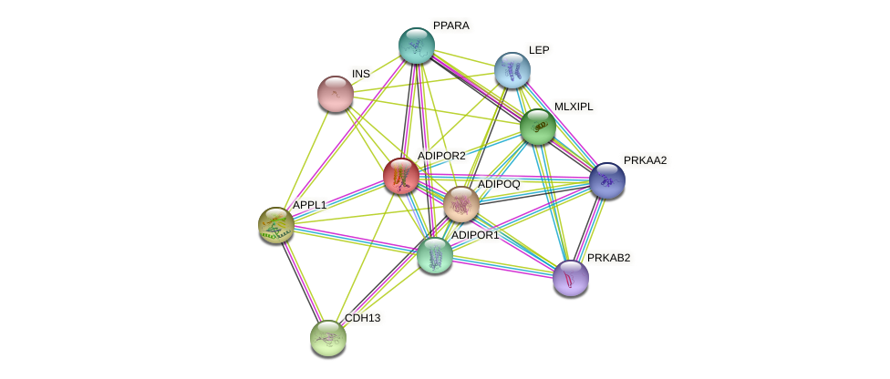 ADIPOR2 protein (human) - STRING interaction network
