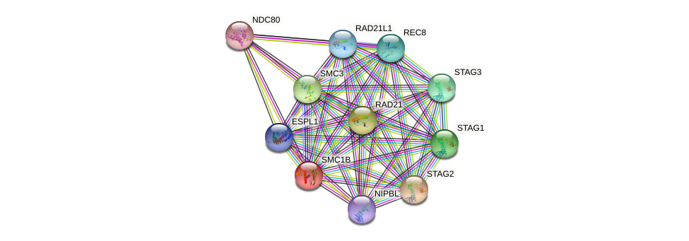 SMC1B protein (human) - STRING interaction network