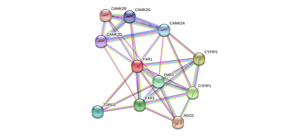 FXR1 protein (human) - STRING interaction network