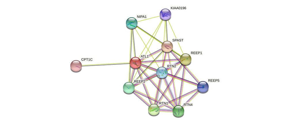 ATL1 protein (human) - STRING interaction network