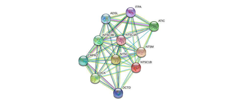 NT5C1B protein (human) - STRING interaction network