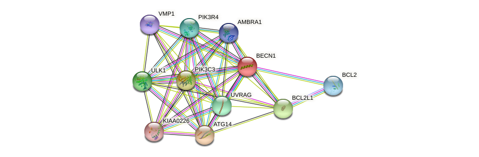 BECN1 protein (human) - STRING interaction network