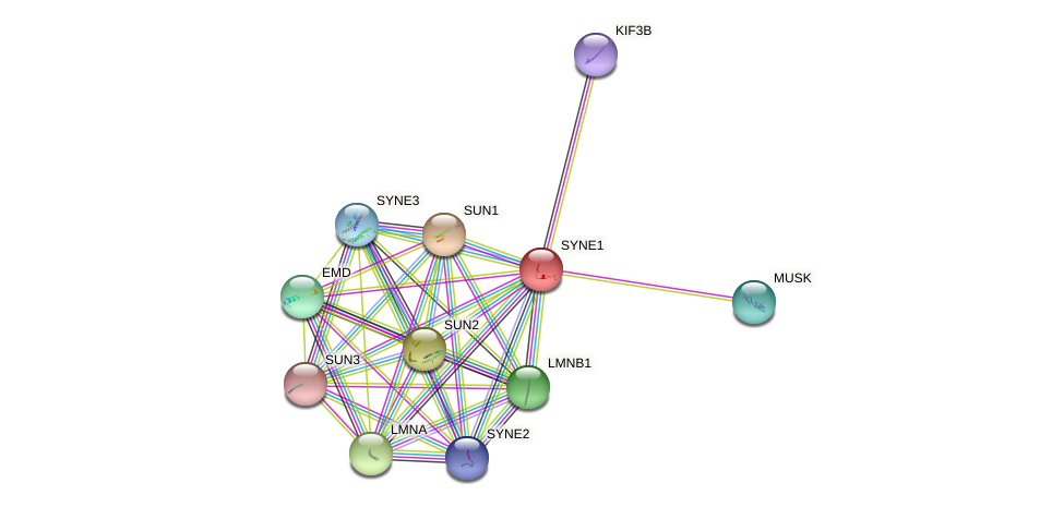 SYNE1 protein (human) - STRING interaction network
