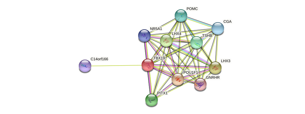 TBX19 protein (human) - STRING interaction network