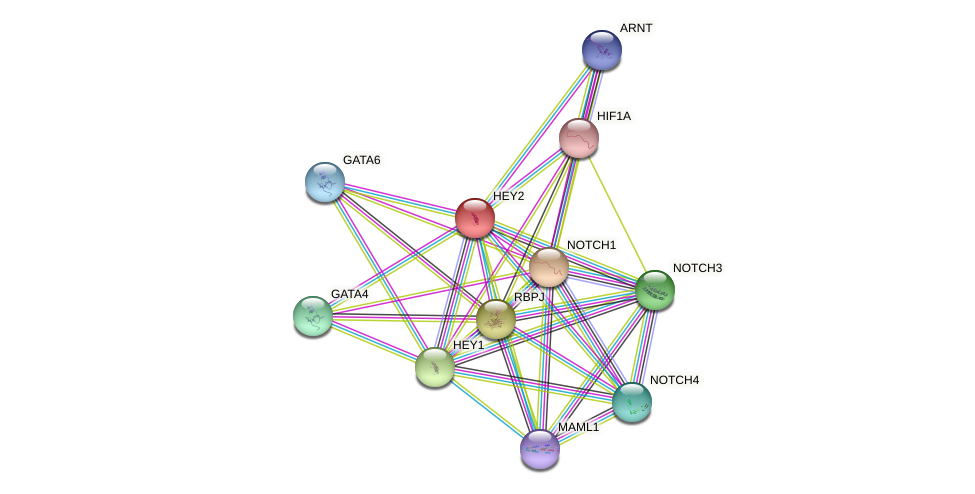 HEY2 protein (human) - STRING interaction network