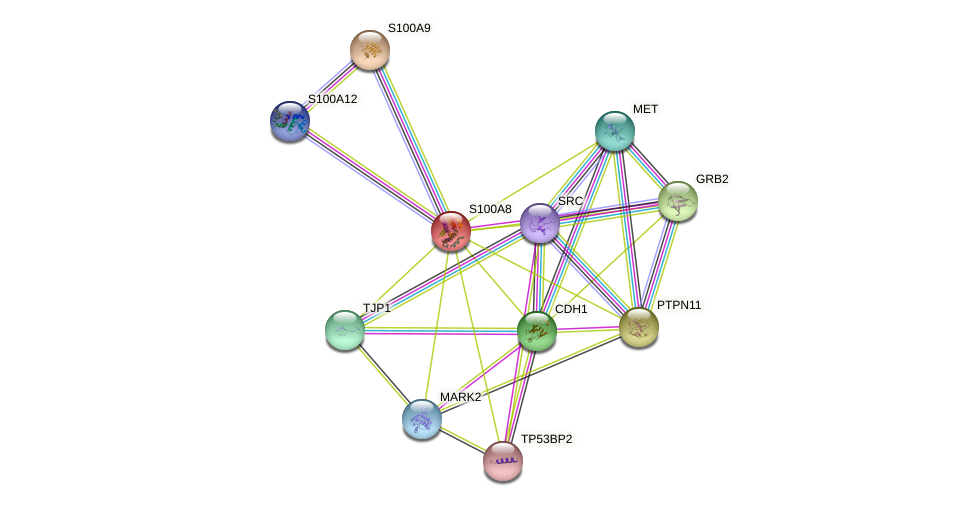 S100A8 protein (human) - STRING interaction network