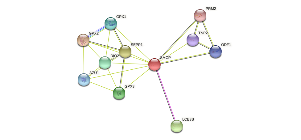 SMCP protein (human) - STRING interaction network
