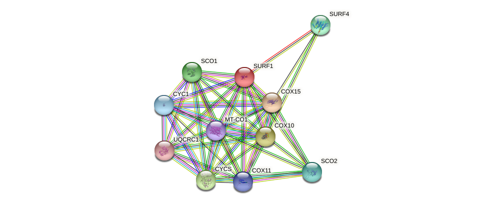SURF1 protein (human) - STRING interaction network