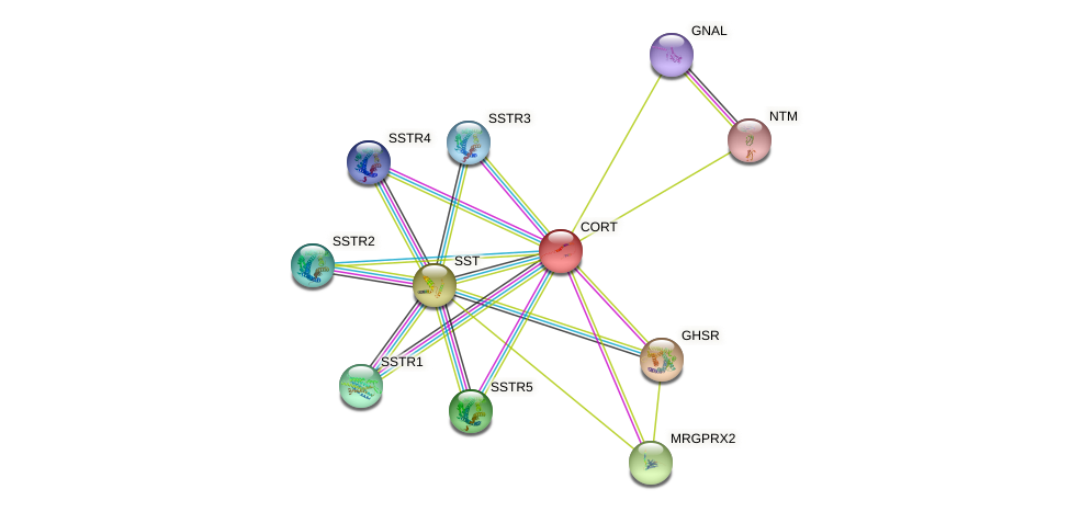 CORT protein (human) - STRING interaction network