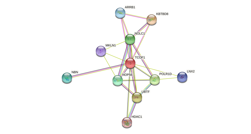 TCOF1 protein (human) - STRING interaction network