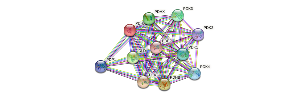 PDHA1 protein (human) - STRING interaction network