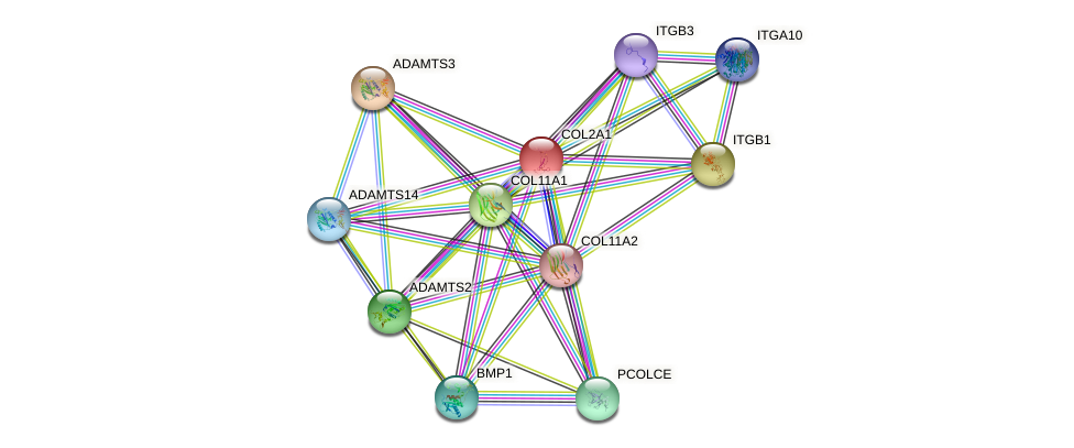 COL2A1 protein (human) - STRING interaction network