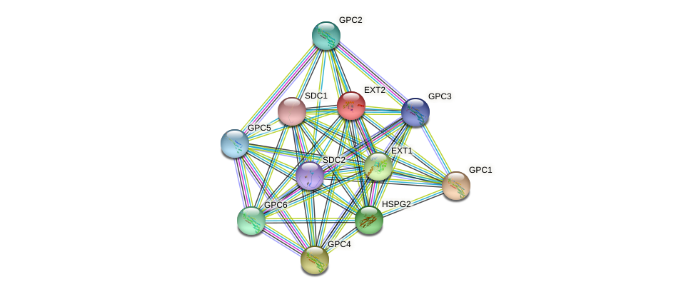EXT2 protein (human) - STRING interaction network