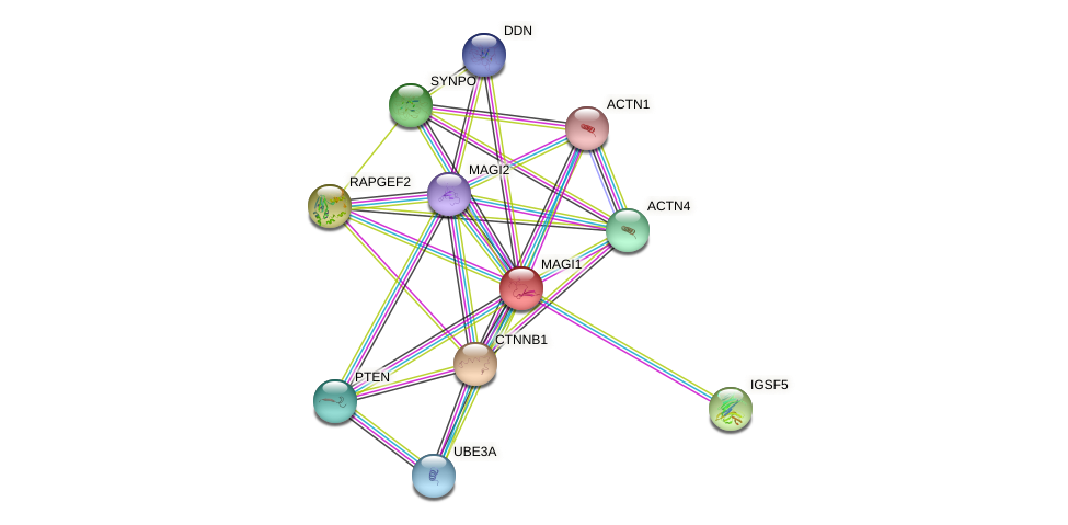 MAGI1 protein (human) - STRING interaction network