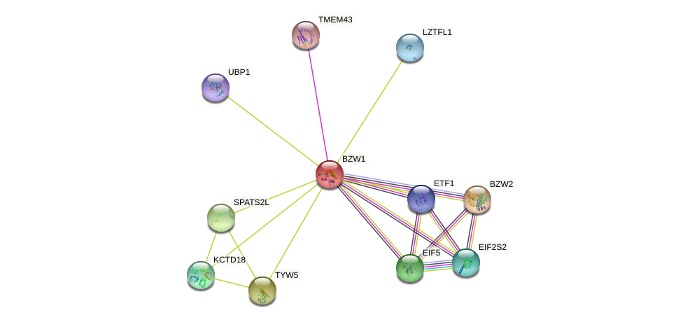 BZW1 protein (human) - STRING interaction network