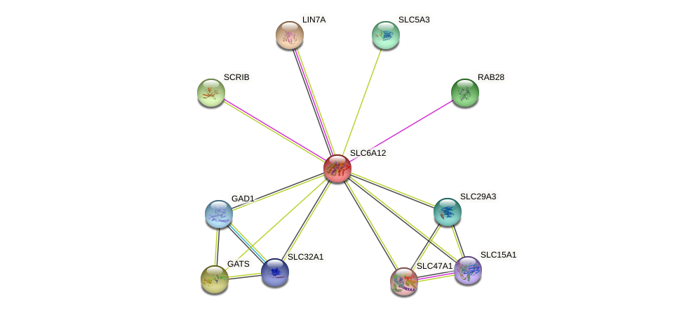 SLC6A12 protein (human) - STRING interaction network