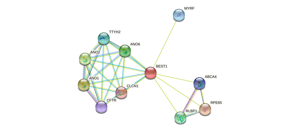 BEST1 protein (human) - STRING interaction network