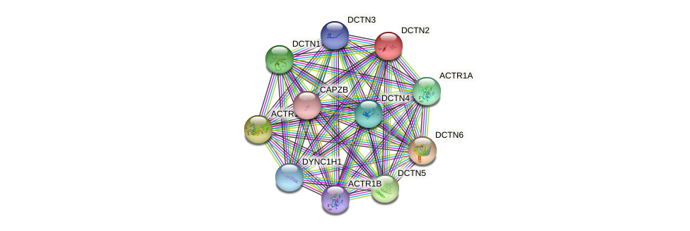 DCTN2 protein (human) - STRING interaction network