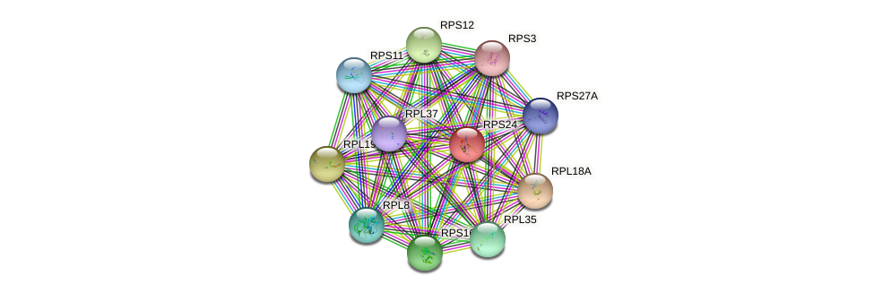 RPS24 protein (human) - STRING interaction network
