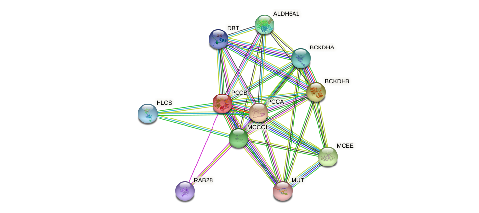 PCCB protein (human) - STRING interaction network