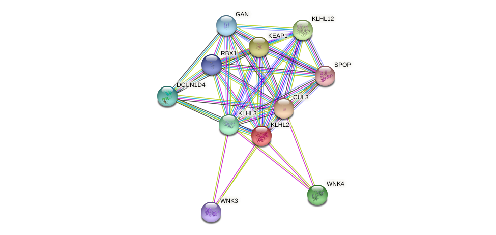 KLHL2 protein (human) - STRING interaction network