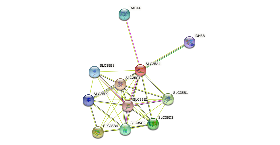 SLC35A4 protein (human) - STRING interaction network