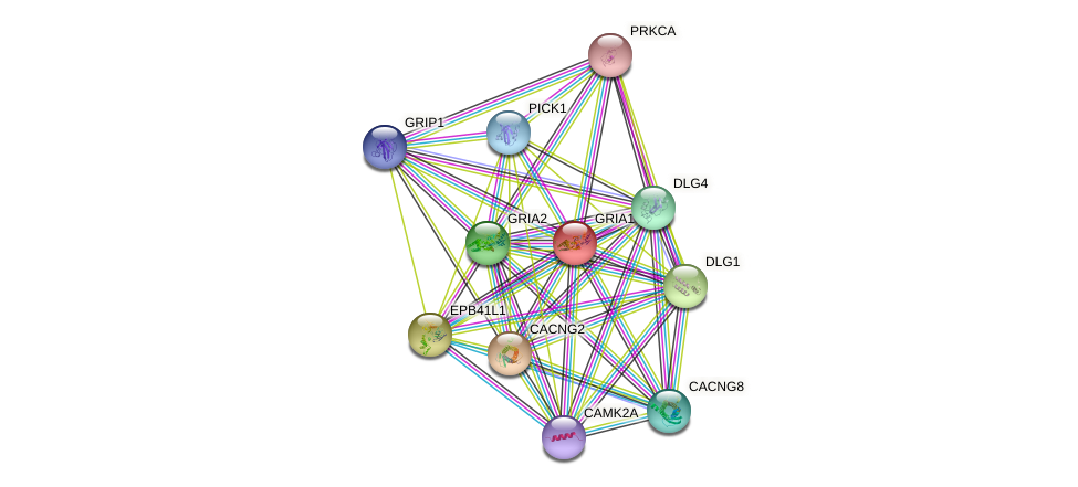 GRIA1 protein (human) - STRING interaction network