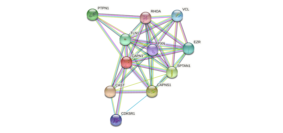 CAPN1 protein (human) - STRING interaction network