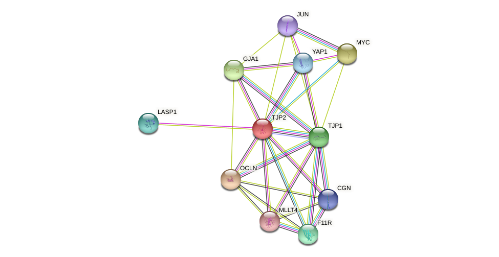 TJP2 protein (human) - STRING interaction network