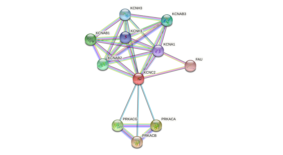 KCNC2 protein (human) - STRING interaction network
