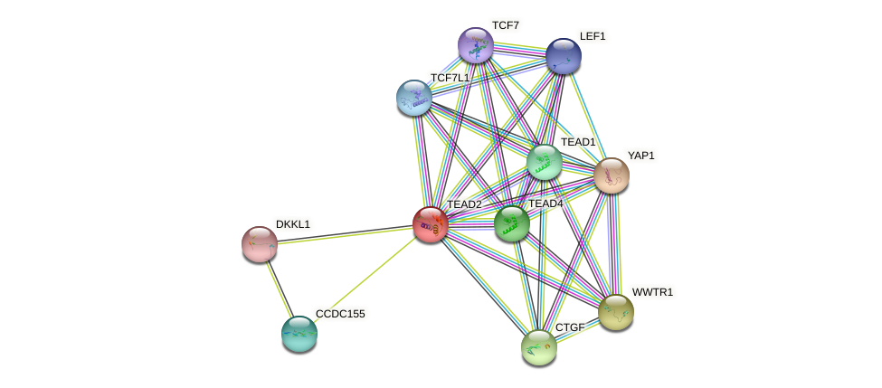 TEAD2 protein (human) - STRING interaction network
