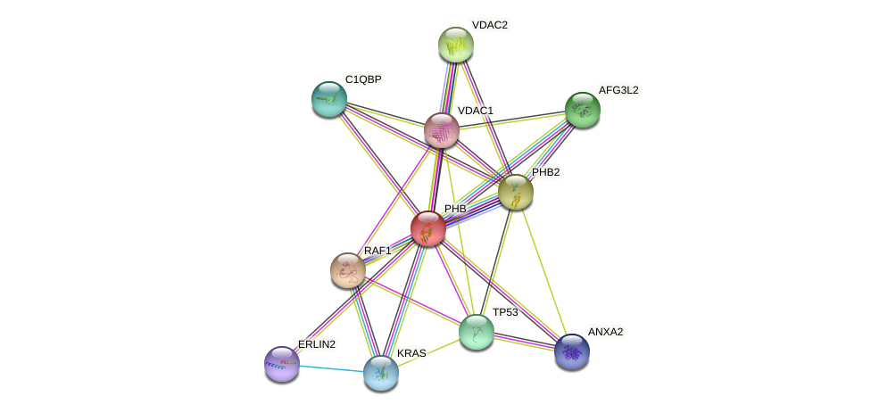 PHB protein (human) - STRING interaction network