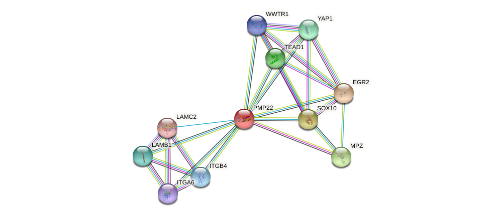 PMP22 protein (human) - STRING interaction network