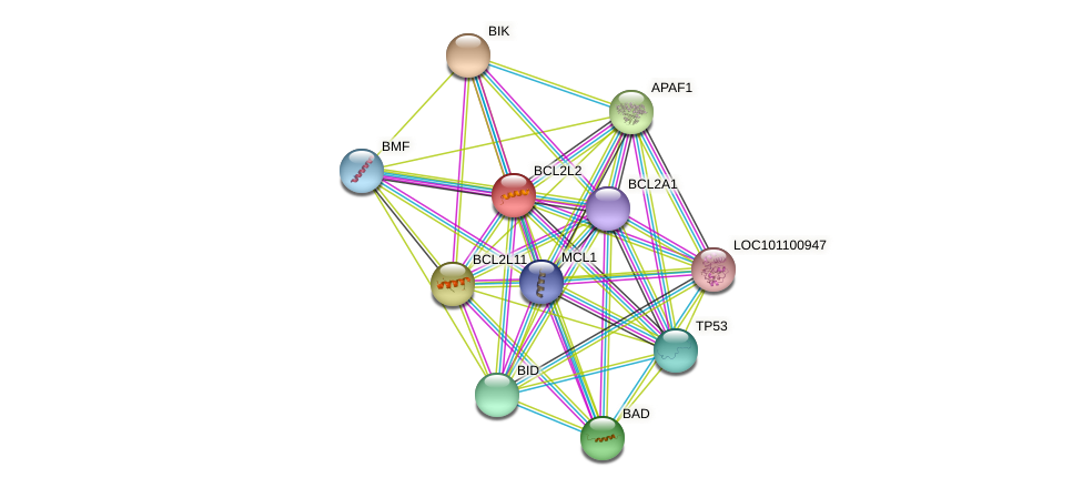 BCL2L2 protein (Felis catus) - STRING interaction network