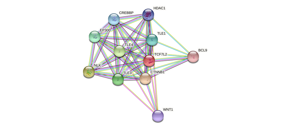 TCF7L2 protein (Felis catus) - STRING interaction network