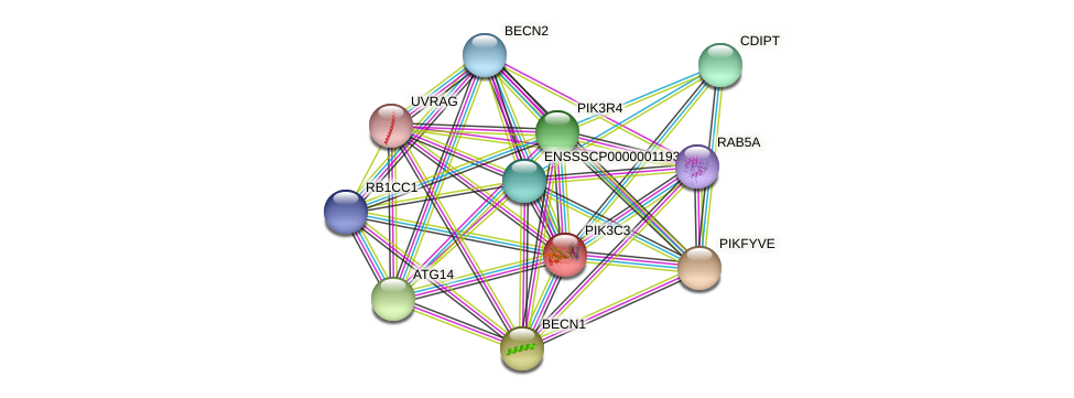 PIK3C3 protein (Sus scrofa) - STRING interaction network