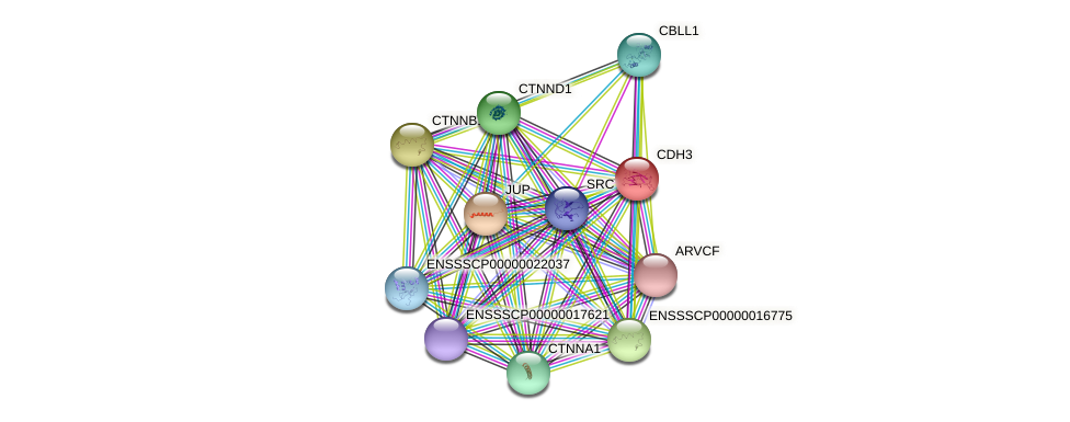 CDH3 protein (Sus scrofa) - STRING interaction network